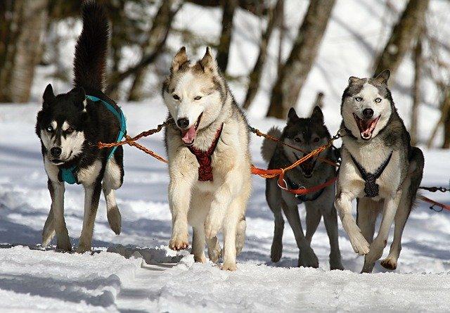 závody v psích spřežení